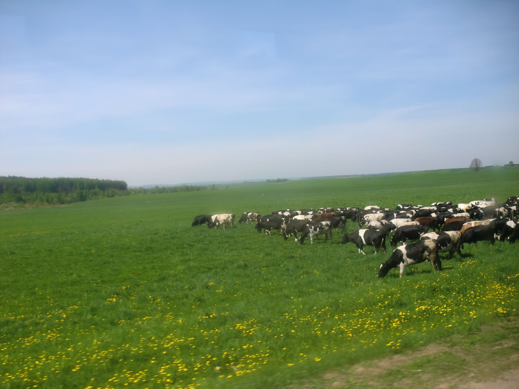 From Vilnius to Minsk by bus: 1 cool trip you should do - A herd of cows standing on top of a lush green field